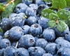 BLUEBERRIES can lower the risk of tooth decay